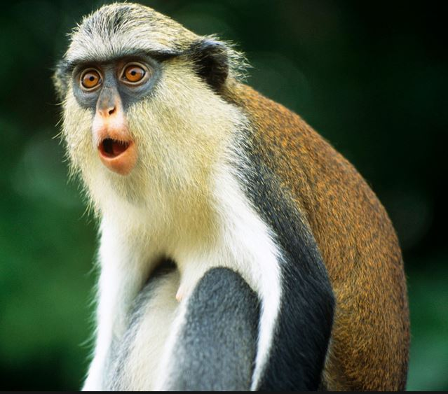 Grenada Mona monkey