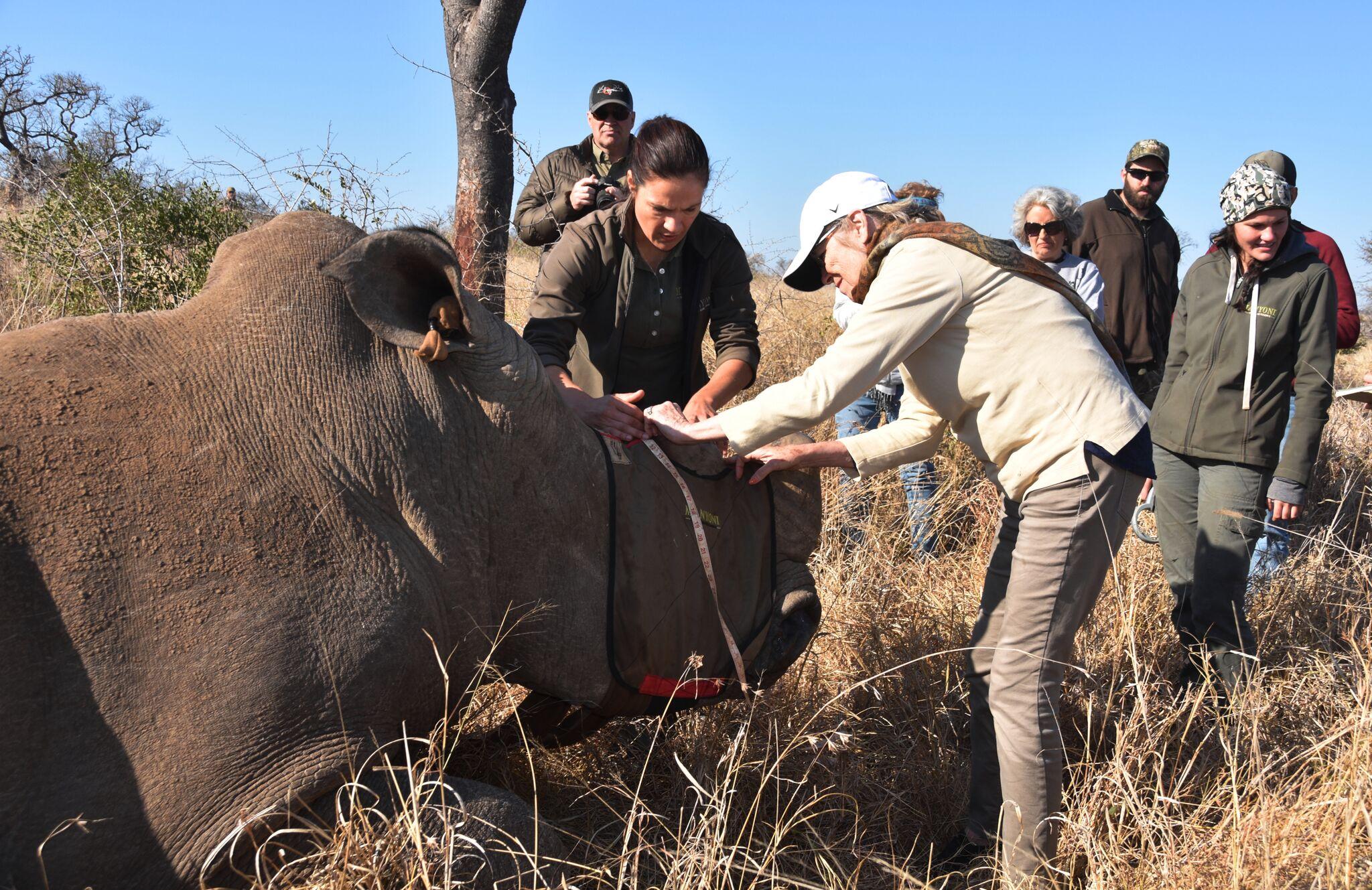 barb-with-karen-measuring-rhino-horn-before-dehorning-great