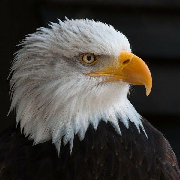 eagle-600x600