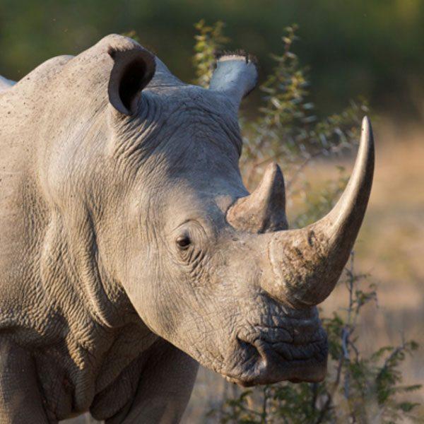 rhino-600x600