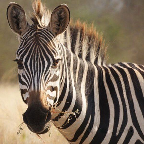zebra-600x600