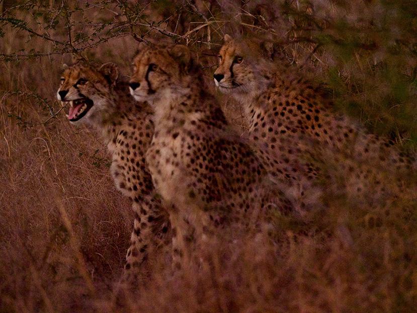 ES-2019-Three-cheetahs---Carl---Great