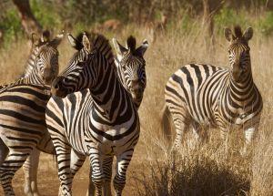 es-2019-four-zebra-carl-great-copy