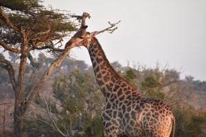 es-2019-giraffe-up-close-yvette-good-hi-rez-copy