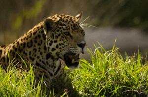 leopard-at-jukani-wildlife-sanctuary