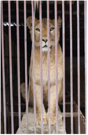 Ukraine lion in cage that was moved to Kragga Kamma (c) LAEO